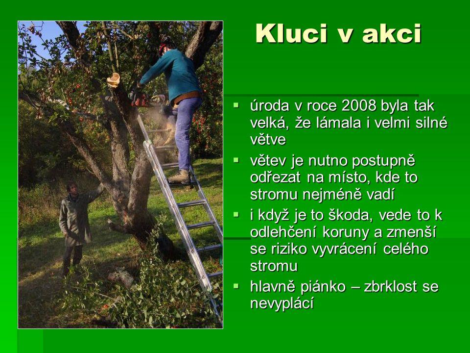 Kluci v akci  úroda v roce 2008 byla tak velká, že lámala i velmi silné větve  větev je nutno postupně odřezat na místo, kde to stromu nejméně vadí  i když je to škoda, vede to k odlehčení koruny a zmenší se riziko vyvrácení celého stromu  hlavně piánko – zbrklost se nevyplácí