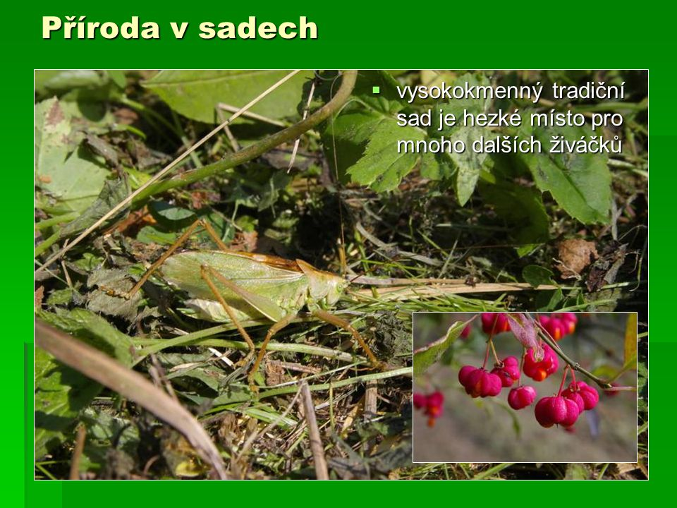 Příroda v sadech  vysokokmenný tradiční sad je hezké místo pro mnoho dalších živáčků
