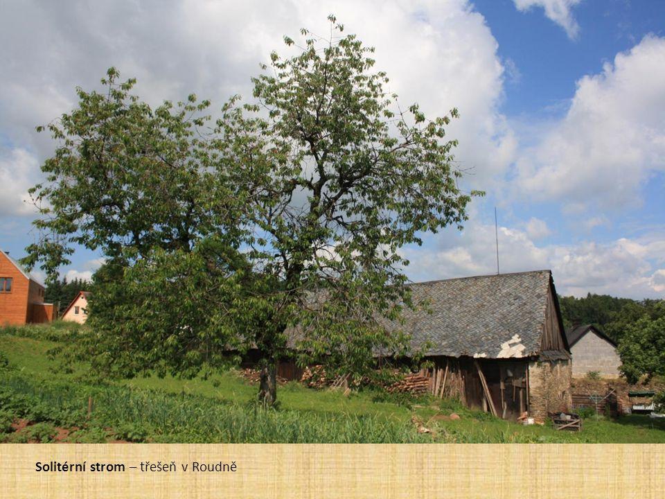 Ovocné stromy v krajině Solitérní strom – třešeň v Roudně