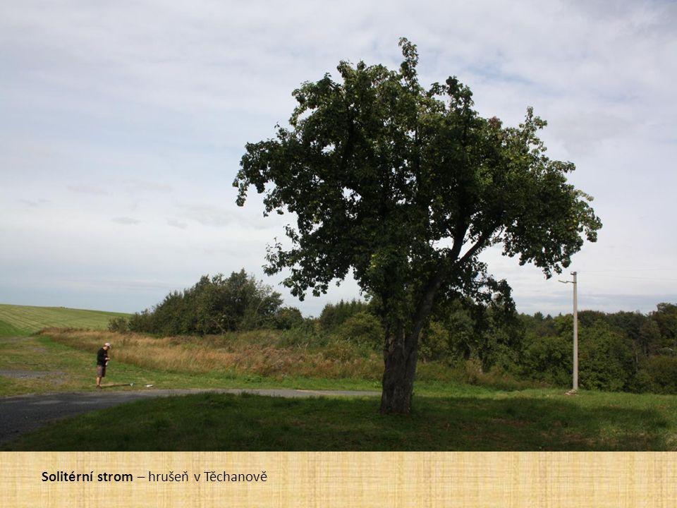 Solitérní strom – hrušeň v Těchanově