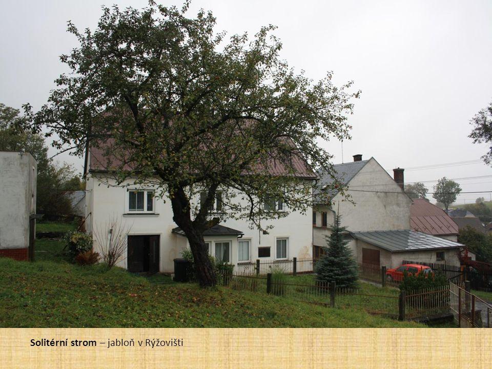 Solitérní strom – jabloň v Rýžovišti