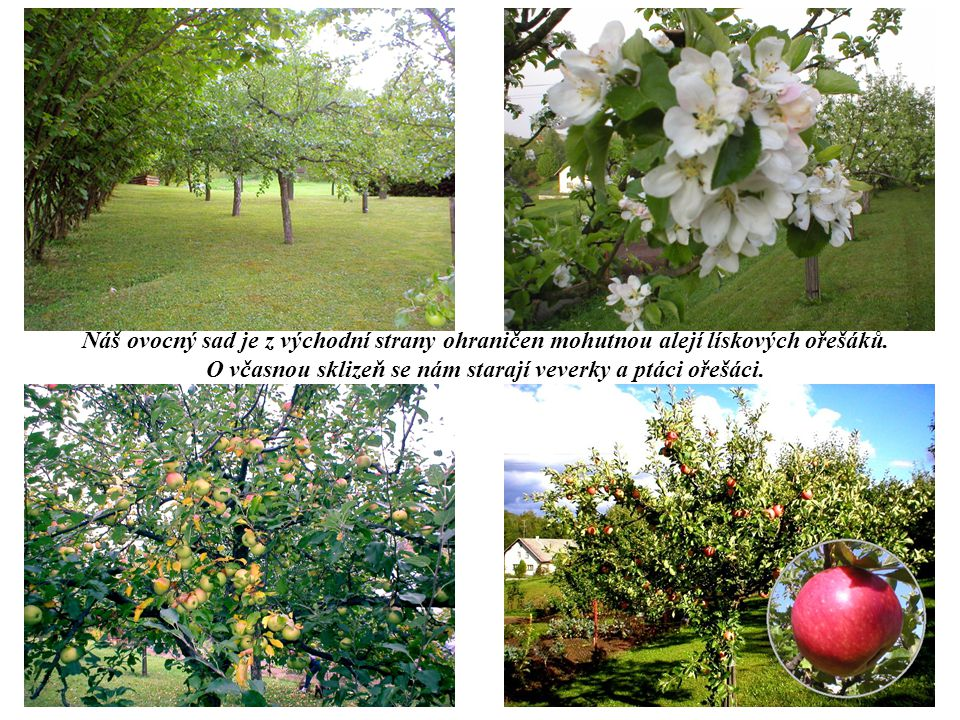 Náš ovocný sad je z východní strany ohraničen mohutnou alejí lískových ořešáků.