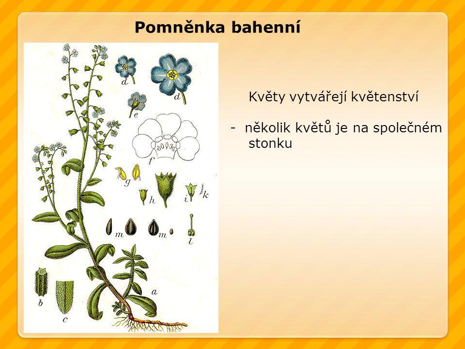 Pomněnka bahenní Květy vytvářejí květenství -několik květů je na společném stonku