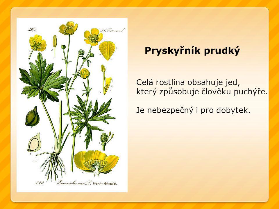 Pryskyřník prudký Celá rostlina obsahuje jed, který způsobuje člověku puchýře.