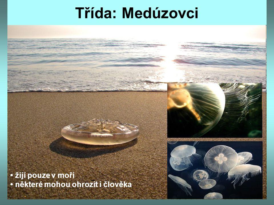 Třída: Medúzovci žijí pouze v moři některé mohou ohrozit i člověka