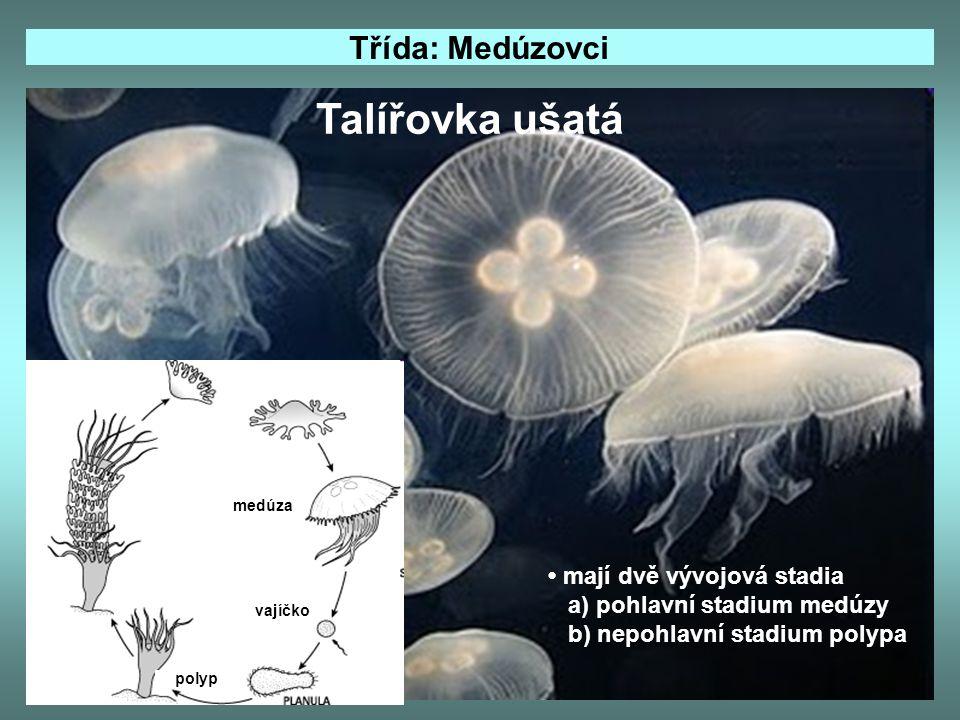 Třída: Medúzovci Talířovka ušatá mají dvě vývojová stadia a) pohlavní stadium medúzy b) nepohlavní stadium polypa vajíčko medúza polyp
