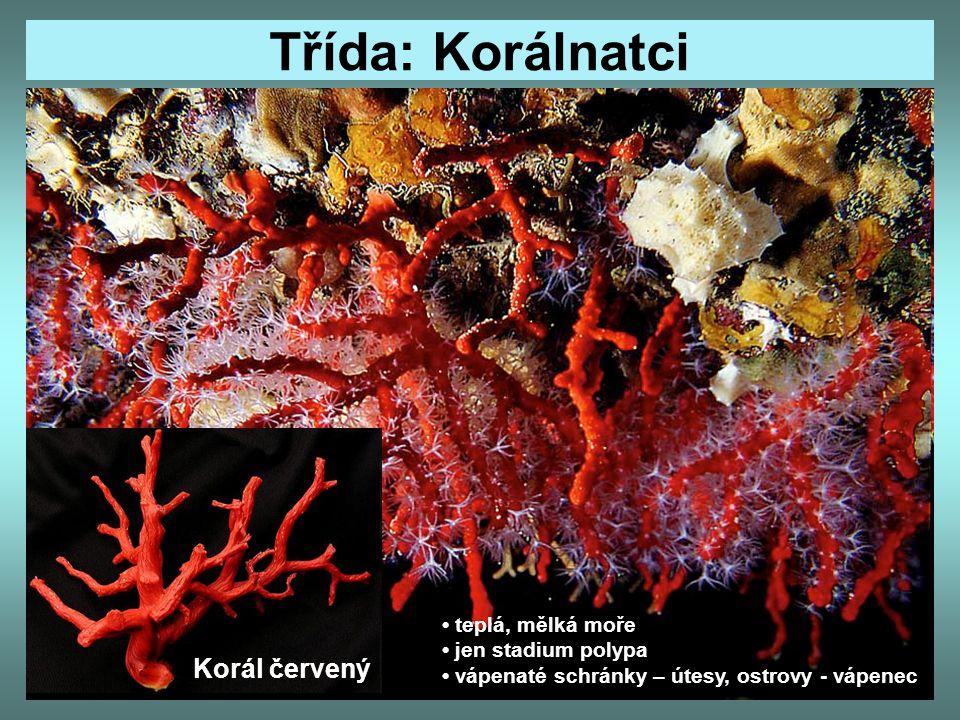 Třída: Korálnatci Korál červený teplá, mělká moře jen stadium polypa vápenaté schránky – útesy, ostrovy - vápenec