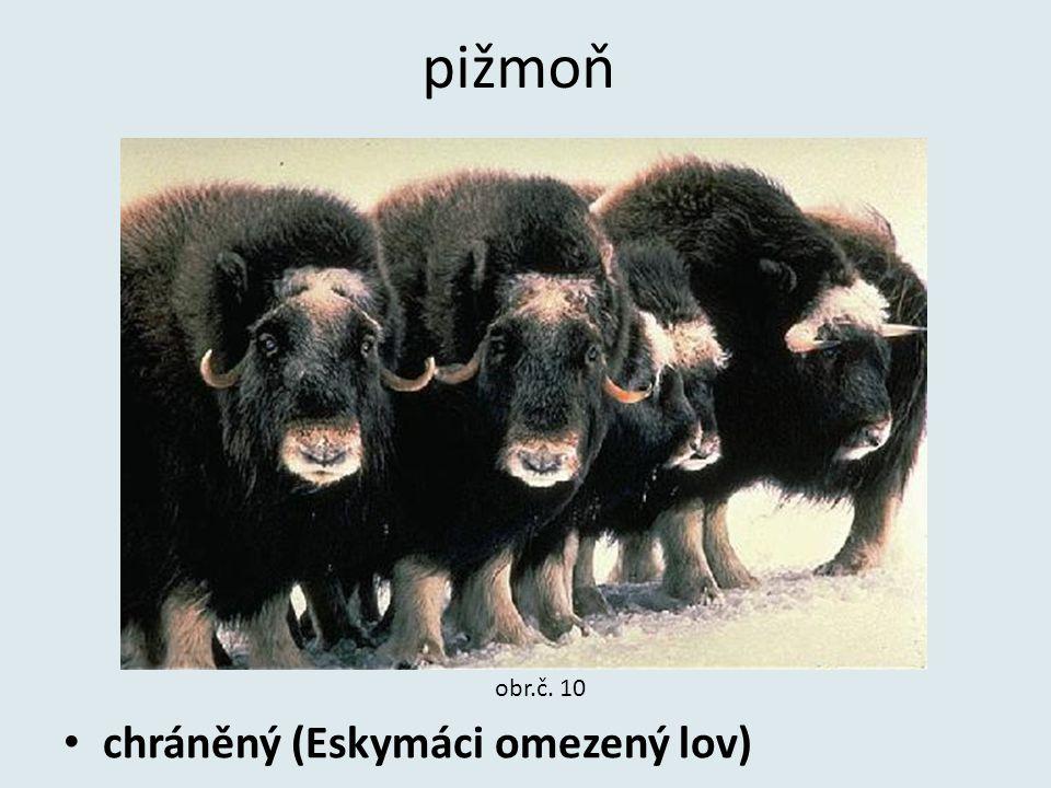pižmoň chráněný (Eskymáci omezený lov) obr.č. 10