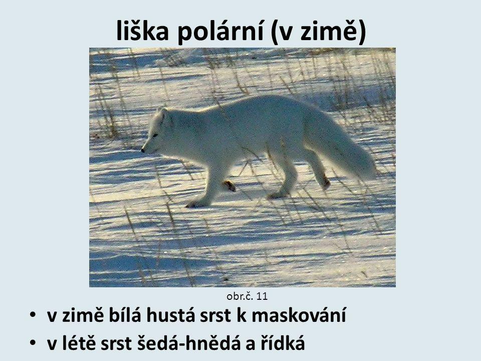 liška polární (v zimě) v zimě bílá hustá srst k maskování v létě srst šedá-hnědá a řídká obr.č. 11