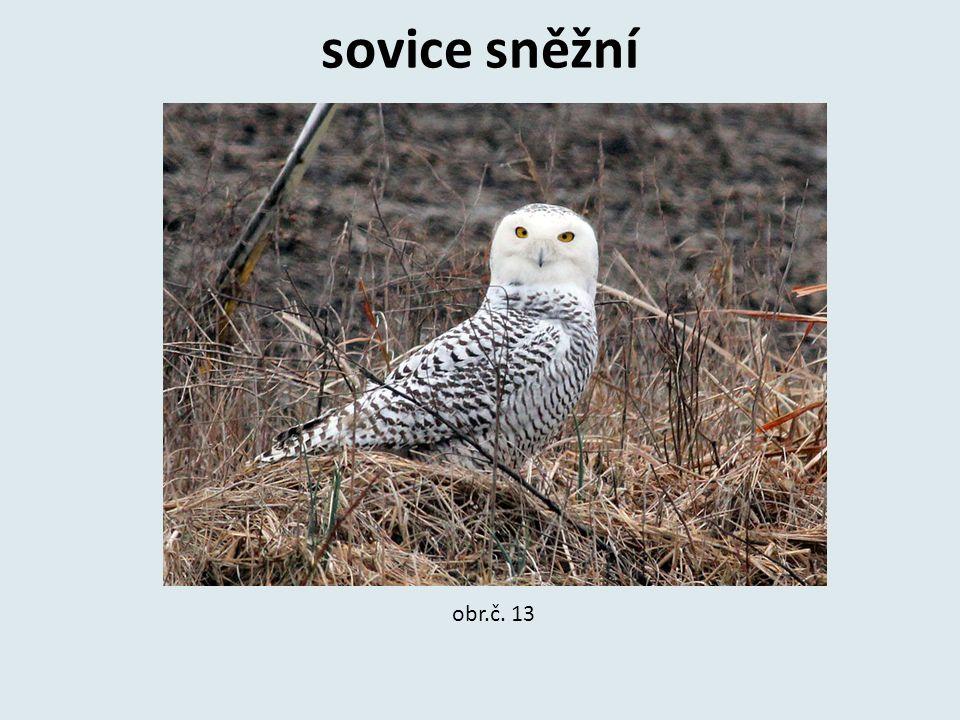 sovice sněžní obr.č. 13