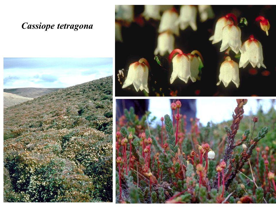 Cassiope tetragona