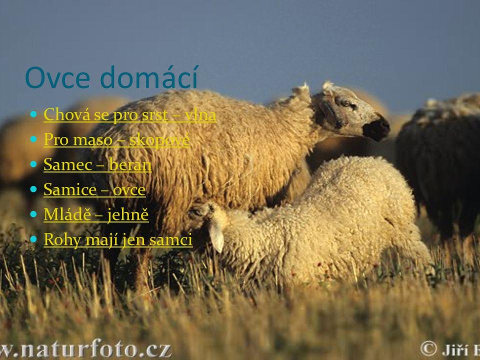 Ovce domácí Chová se pro srst – vlna Pro maso – skopové Samec – beran Samice – ovce Mládě – jehně Rohy mají jen samci