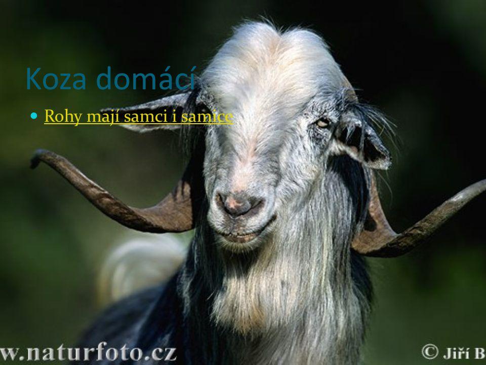 Koza domácí Rohy mají samci i samice