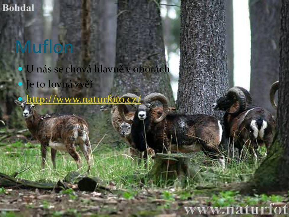Muflon U nás se chová hlavně v oborách Je to lovná zvěř http://www.naturfoto.cz/