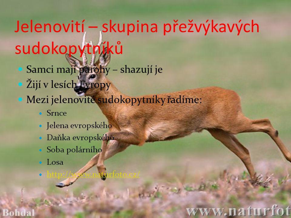 Jelenovití – skupina přežvýkavých sudokopytníků Samci mají parohy – shazují je Žijí v lesích Evropy Mezi jelenovité sudokopytníky řadíme: Srnce Jelena