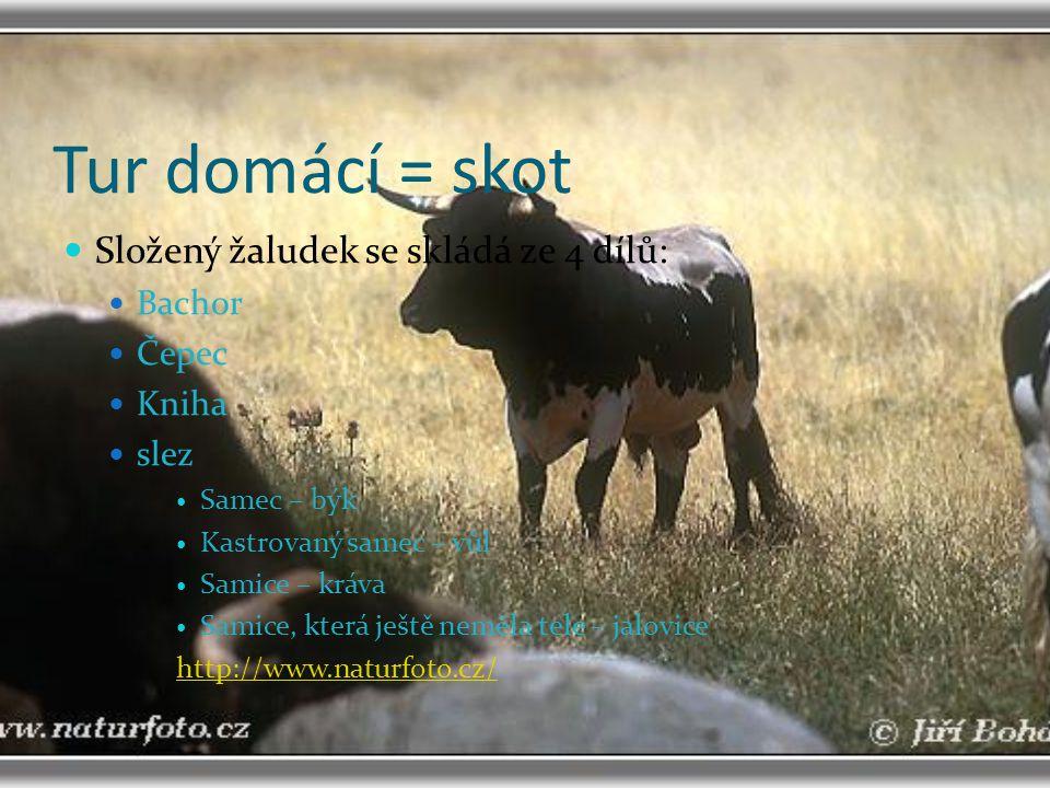 Tur domácí = skot Složený žaludek se skládá ze 4 dílů: Bachor Čepec Kniha slez Samec – býk Kastrovaný samec – vůl Samice – kráva Samice, která ještě n