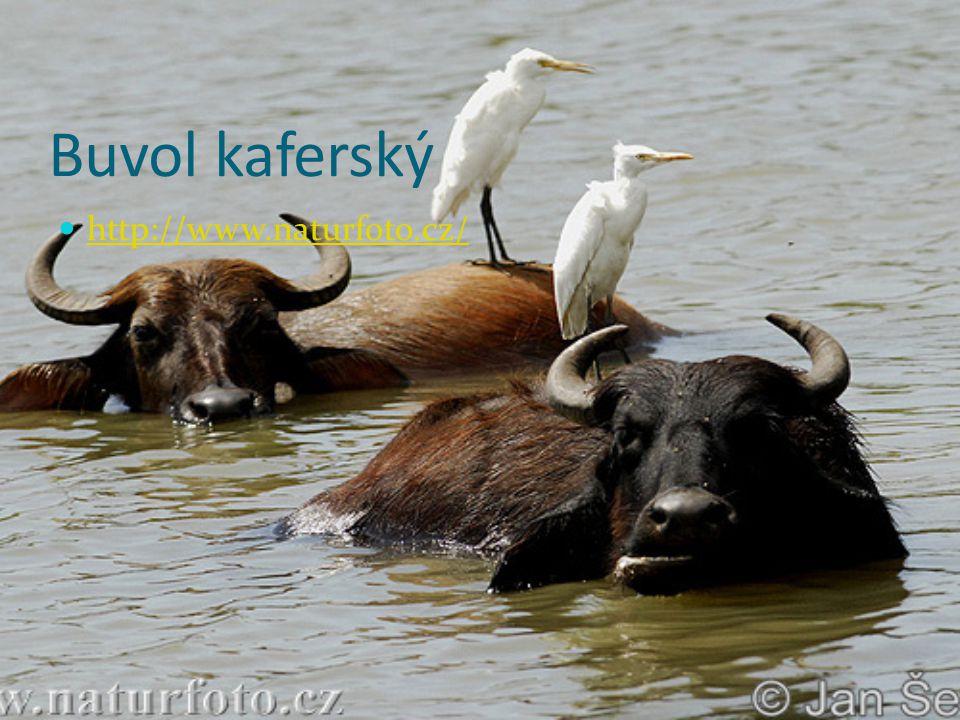 Buvol kaferský http://www.naturfoto.cz/
