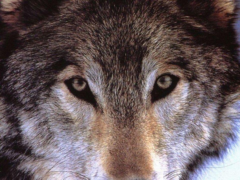 ŠPUNDOVÁ MARTINA 1.ročník PR – RV 2007 Téma:VLK (Canis lupus)