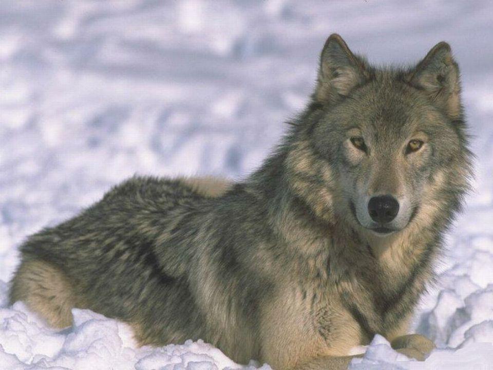 OCHRANA VLKŮ Podle zákona č. 114/1992 Sb. o ochraně přírody a krajiny resp. prováděcí vyhlášky č. 395/1992 Sb. je vlk kriticky ohroženým druhem. Zákon