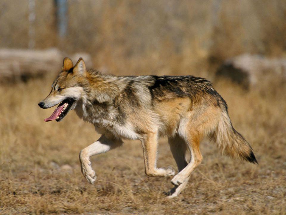 Historie výskytu vlka na našem území - v českých zemích došlo k úbytku vlka v 18. století. - v českých zemích došlo k úbytku vlka v 18. století. - na