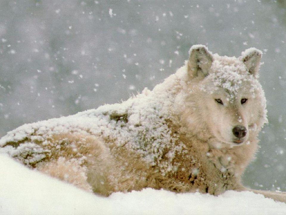 - část vlků se mohla také vrátit zpět na Slovensko - část vlků se mohla také vrátit zpět na Slovensko - v zimě 1998/99 se vlk objevoval vzácně pouze v pohraniční části na Jablunkovsku i v jižní části Beskyd.