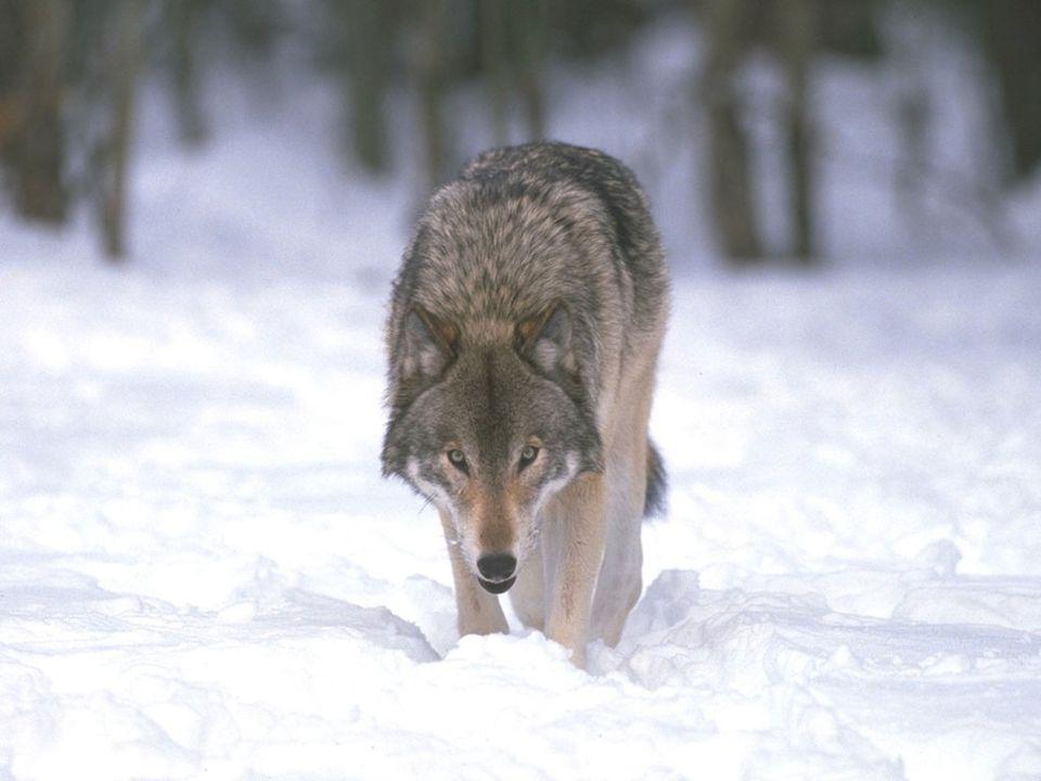 VLK (Canis lupus) Říše: Živočichové (Animalia) Podříše: Mnohobuněční (Metazoa) Kmen: Strunatci (Chordata) Podkmen: Obratlovci (Vertebrata) Nadtřída: Čelistnatí (Gnathostomata) Třída: Savci (Mammalia) Řád: Carnivora (Šelmy) Čeleď: Psovití (Canidae) Rod: Canis Druh: Vlk obecný (Canis lupus)