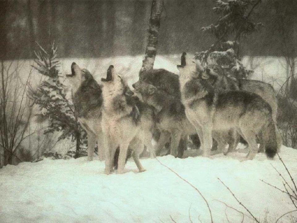 VYTÍ - vlci vytím ohlašují svou přítomnost - vymezují a obhajují svá teritoria - vytí je slyšet až na vzdálenost 10 km - umožňuje oddělení konkurenční