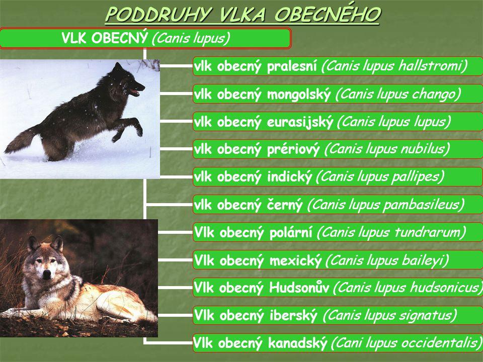 PODDRUHY VLKA OBECNÉHO VLK OBECNÝ (Canis lupus) vlk obecný pralesní (Canis lupus hallstromi) vlk obecný mongolský (Canis lupus chango) vlk obecný eurasijský (Canis lupus lupus) vlk obecný prériový (Canis lupus nubilus) vlk obecný indický (Canis lupus pallipes) vlk obecný černý (Canis lupus pambasileus) Vlk obecný polární (Canis lupus tundrarum) Vlk obecný mexický (Canis lupus baileyi) Vlk obecný Hudsonův (Canis lupus hudsonicus) Vlk obecný iberský (Canis lupus signatus) Vlk obecný kanadský (Cani lupus occidentalis)