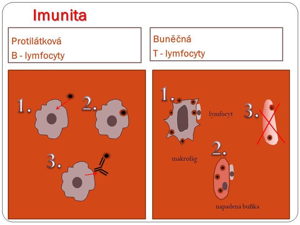 Imunita Protilátková B - lymfocyty Bun ěč ná T - lymfocyty makrofág napadená bu ň ka lymfocyt