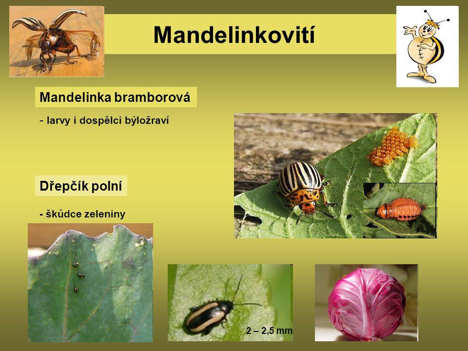 Mandelinkovití Mandelinka bramborová - larvy i dospělci býložraví Dřepčík polní - škůdce zeleniny 2 – 2,5 mm