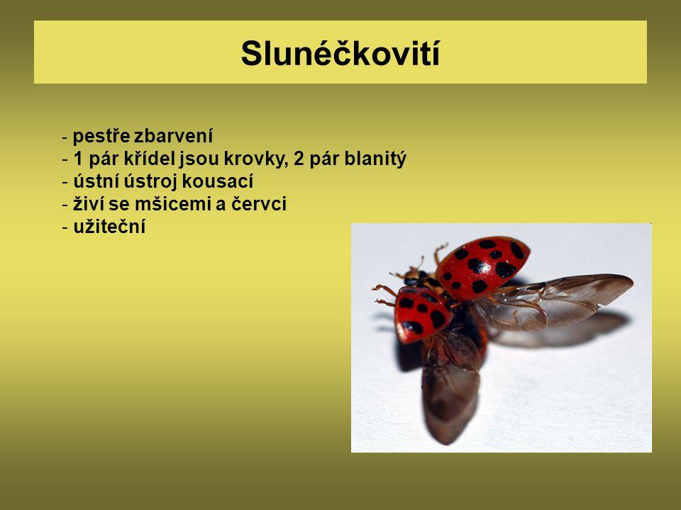 Slunéčkovití - pestře zbarvení - 1 pár křídel jsou krovky, 2 pár blanitý - ústní ústroj kousací - živí se mšicemi a červci - užiteční