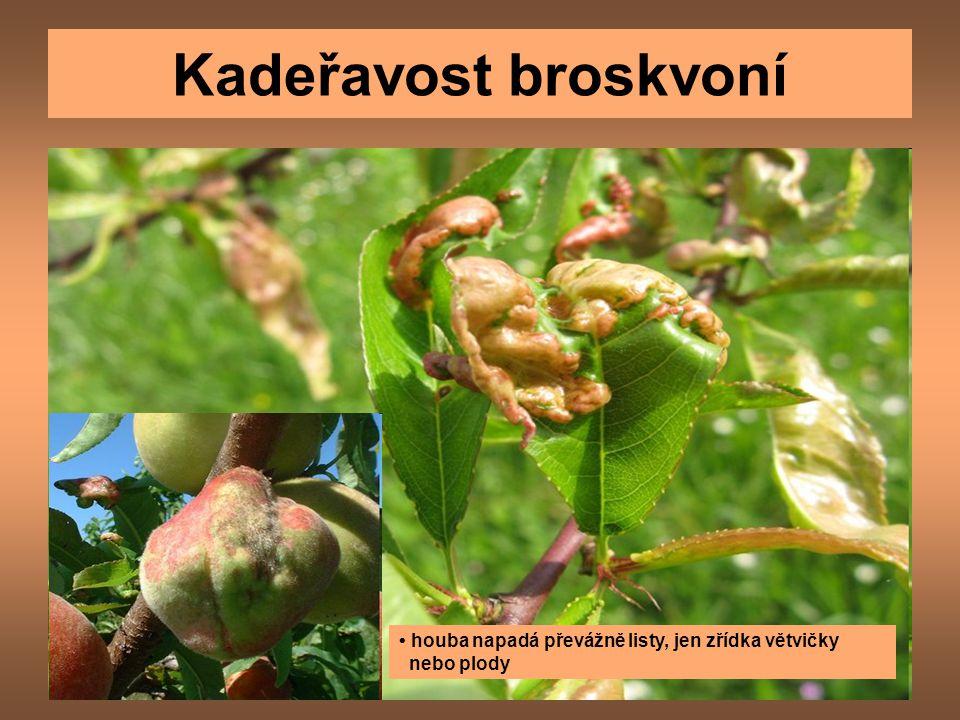 Kadeřavost broskvoní houba napadá převážně listy, jen zřídka větvičky nebo plody