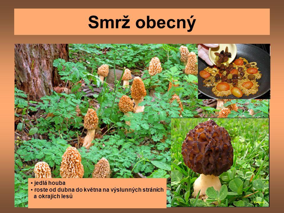 Smrž obecný jedlá houba roste od dubna do května na výslunných stráních a okrajích lesů