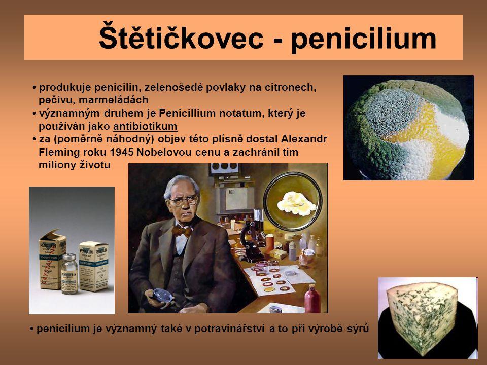 Štětičkovec - penicilium produkuje penicilin, zelenošedé povlaky na citronech, pečivu, marmeládách významným druhem je Penicillium notatum, který je používán jako antibiotikum za (poměrně náhodný) objev této plísně dostal Alexandr Fleming roku 1945 Nobelovou cenu a zachránil tím miliony životu penicilium je významný také v potravinářství a to při výrobě sýrů
