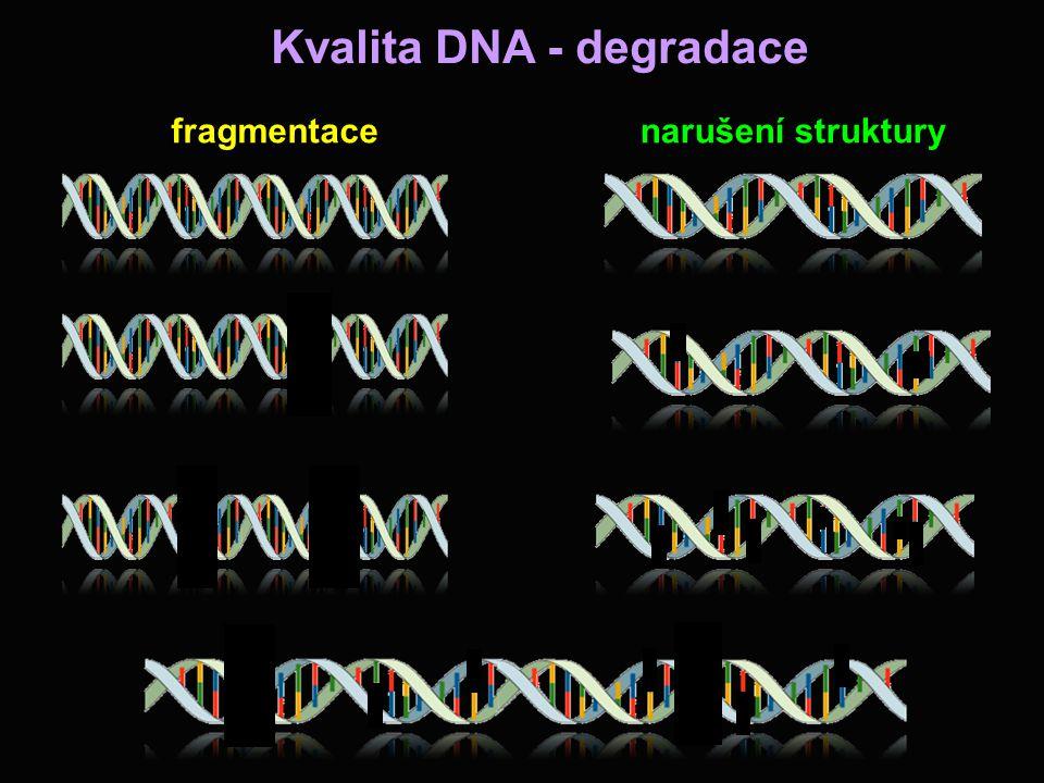 Kvalita DNA - degradace fragmentacenarušení struktury