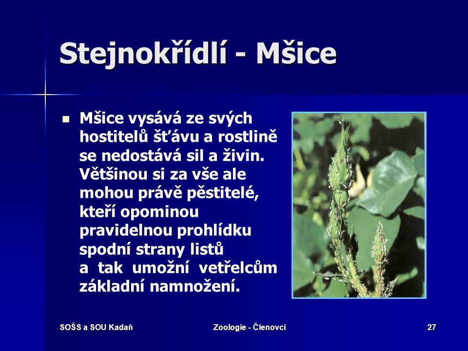 SOŠS a SOU KadaňZoologie - Členovci27 Stejnokřídlí - Mšice Mšice vysává ze svých hostitelů šťávu a rostlině se nedostává sil a živin. Většinou si za v