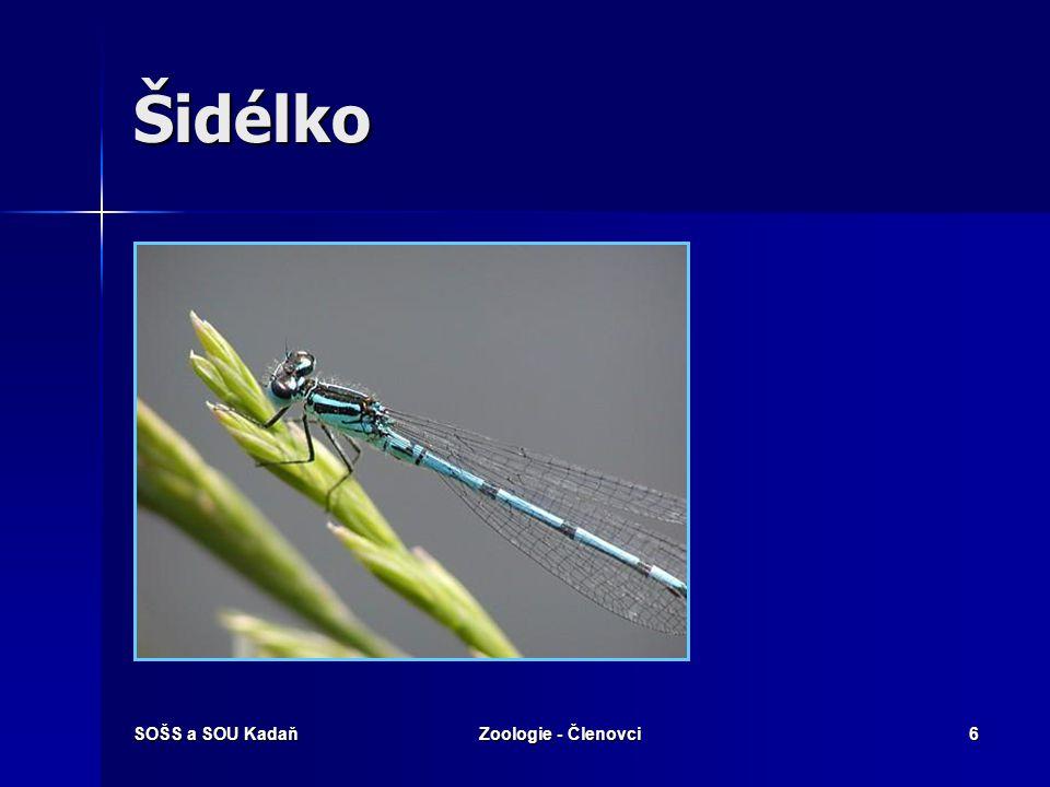 SOŠS a SOU KadaňZoologie - Členovci27 Stejnokřídlí - Mšice Mšice vysává ze svých hostitelů šťávu a rostlině se nedostává sil a živin.