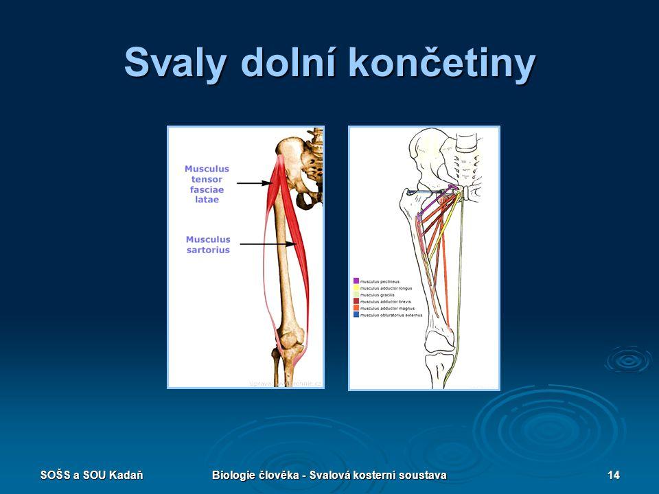 SOŠS a SOU KadaňBiologie člověka - Svalová kosterní soustava14 Svaly dolní končetiny