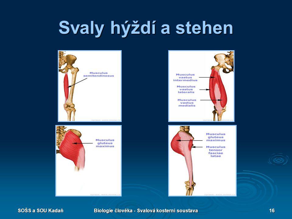 SOŠS a SOU KadaňBiologie člověka - Svalová kosterní soustava16 Svaly hýždí a stehen