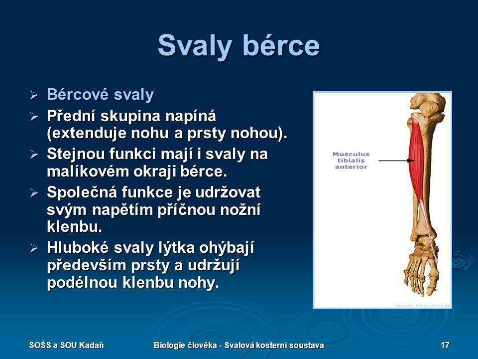 SOŠS a SOU KadaňBiologie člověka - Svalová kosterní soustava17 Svaly bérce  Bércové svaly  Přední skupina napíná (extenduje nohu a prsty nohou).  S