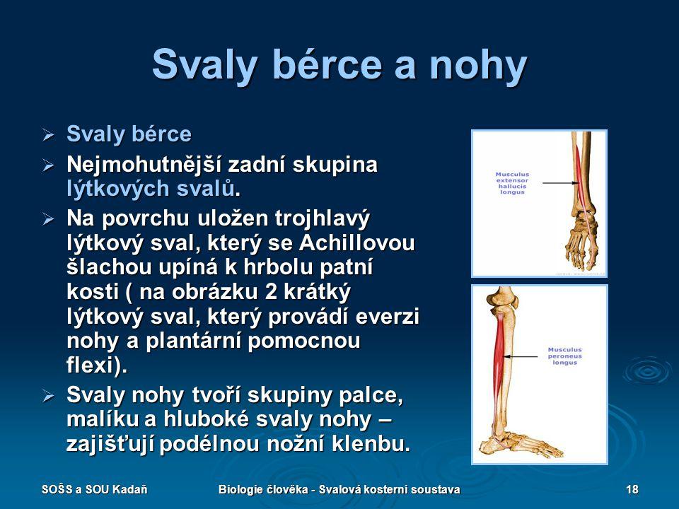 SOŠS a SOU KadaňBiologie člověka - Svalová kosterní soustava18 Svaly bérce a nohy  Svaly bérce  Nejmohutnější zadní skupina lýtkových svalů.  Na po