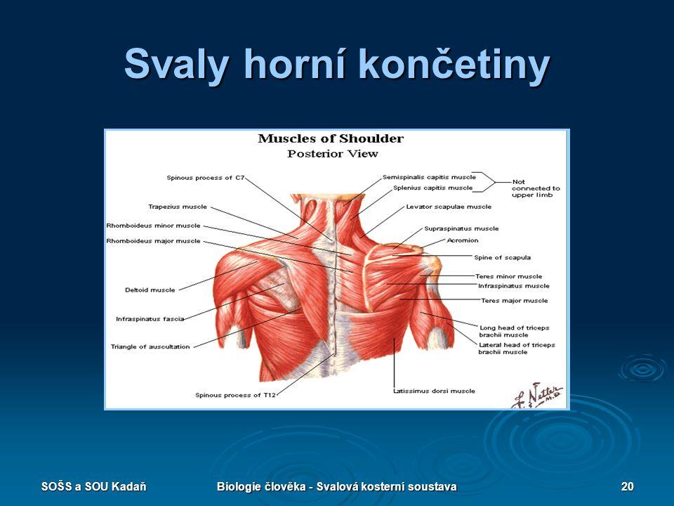 SOŠS a SOU KadaňBiologie člověka - Svalová kosterní soustava20 Svaly horní končetiny