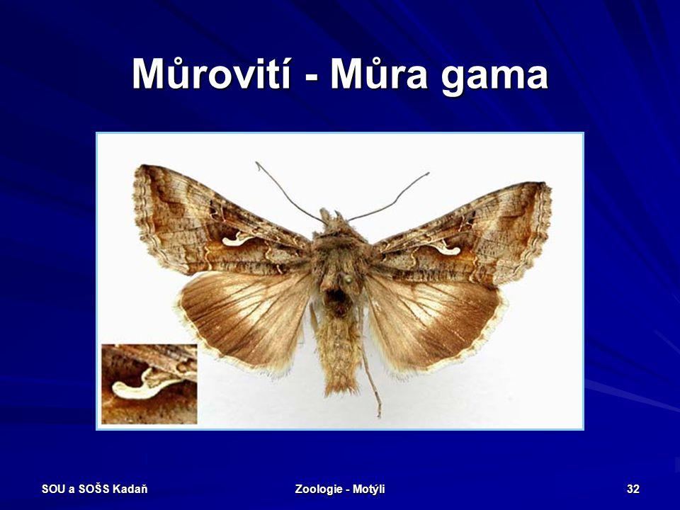 SOU a SOŠS Kadaň Zoologie - Motýli 31 Můrovití Tykadla dlouhá, obvykle nitkovitáLysá housenka, přes den obvykle ukrytá