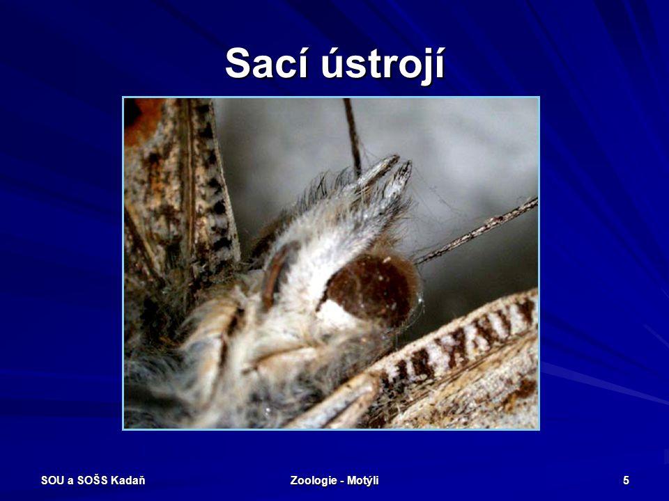 SOU a SOŠS Kadaň Zoologie - Motýli 4 Morfologický popis 2 páry blanitých křídel, křídla i tělo jsou pokryty šupinami 3 páry končetin ústní ústrojí kou
