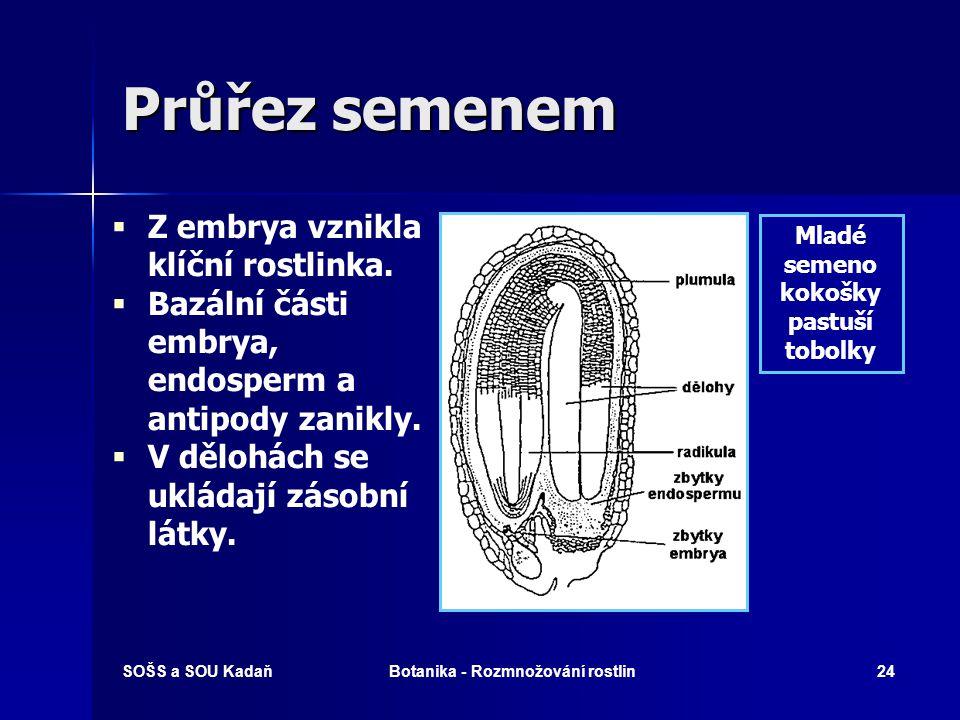 SOŠS a SOU KadaňBotanika - Rozmnožování rostlin23 Zárodečný vývoj Řez vyvíjejícím se semenem