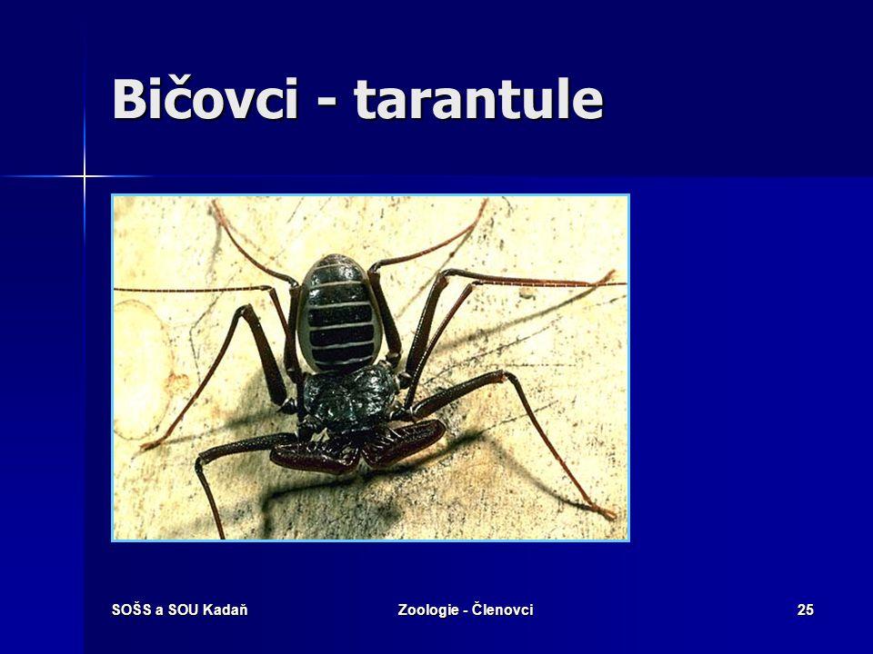SOŠS a SOU KadaňZoologie - Členovci24 Tarantulas X tarantule Název tarantule pro sklípkany je špatný. Mnohé zřejmě mate anglický název pro sklípkany -