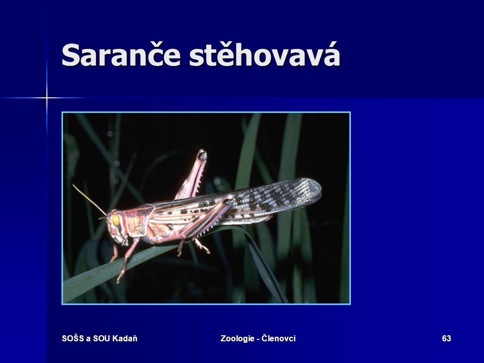 SOŠS a SOU KadaňZoologie - Členovci62 Saranče stěhovavá Zajímavosti: Vzhledem se liší i dospělci, stěhovavá fáze je pestřejší a větší. Při stěhování p