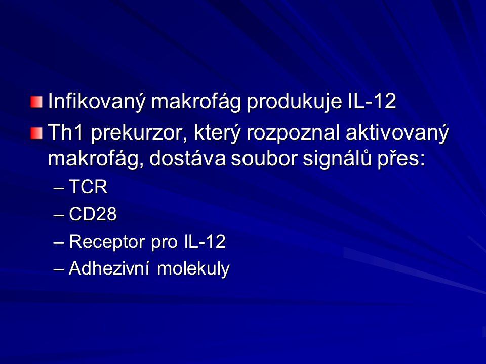 Infikovaný makrofág produkuje IL-12 Th1 prekurzor, který rozpoznal aktivovaný makrofág, dostáva soubor signálů přes: –TCR –CD28 –Receptor pro IL-12 –A
