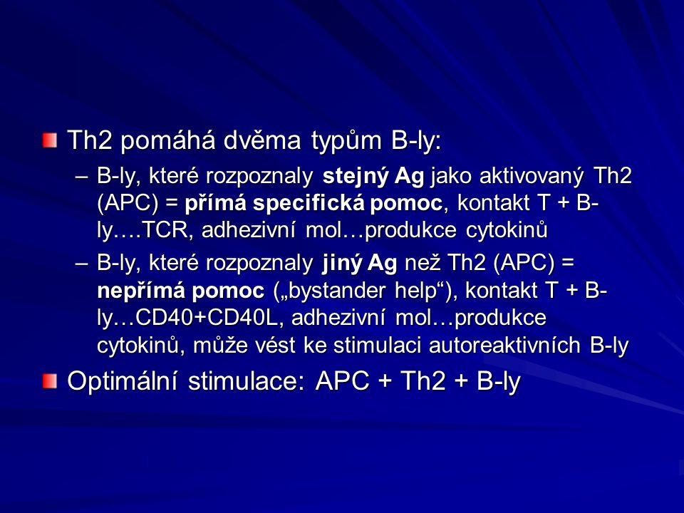 Th2 pomáhá dvěma typům B-ly: –B-ly, které rozpoznaly stejný Ag jako aktivovaný Th2 (APC) = přímá specifická pomoc, kontakt T + B- ly….TCR, adhezivní m