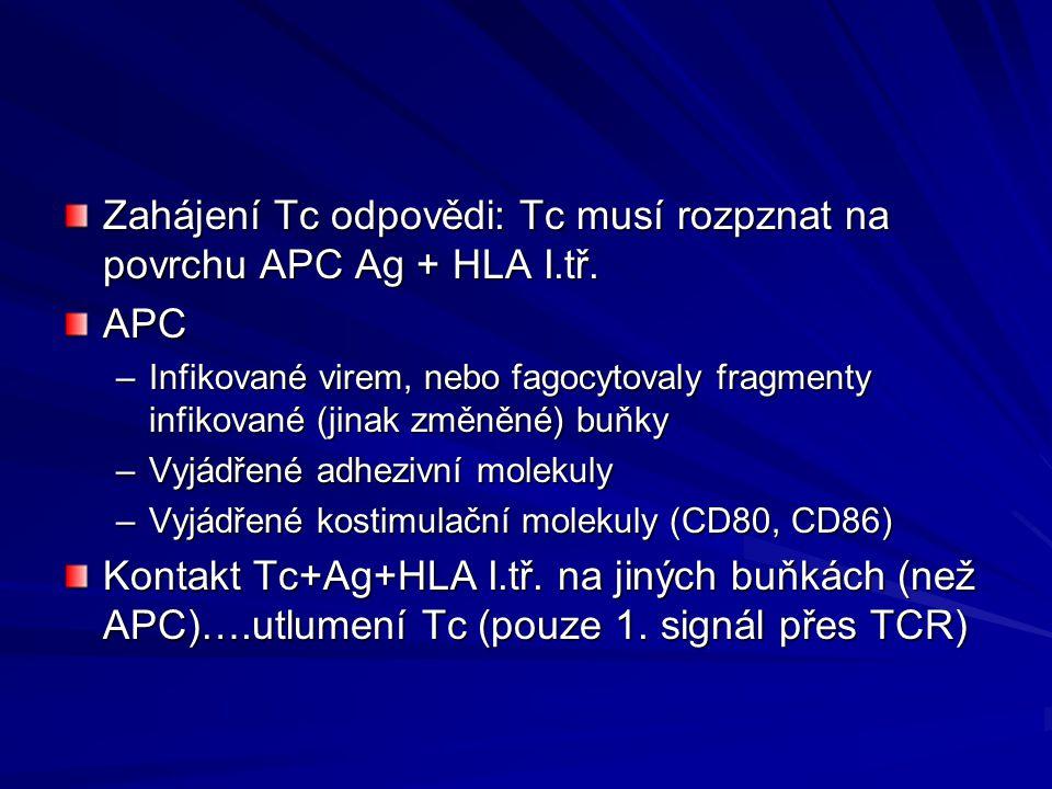 Zahájení Tc odpovědi: Tc musí rozpznat na povrchu APC Ag + HLA I.tř. APC –Infikované virem, nebo fagocytovaly fragmenty infikované (jinak změněné) buň